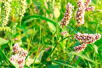 Состав растения Горец почечуйный