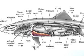 Внутренние органы акулы и печень