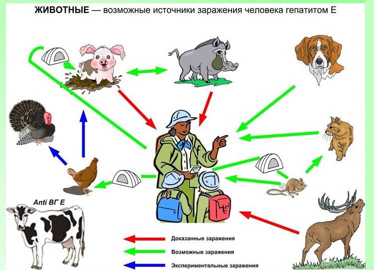 Животные при контакте с которыми есть риск заражения гепатитом Е